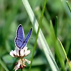 Eastern Tailed Blue Butterfly (w/o watermark) by Paula Tohline  Calhoun
