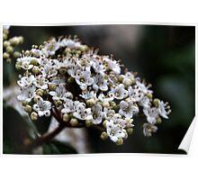 Viburnum Flower Poster