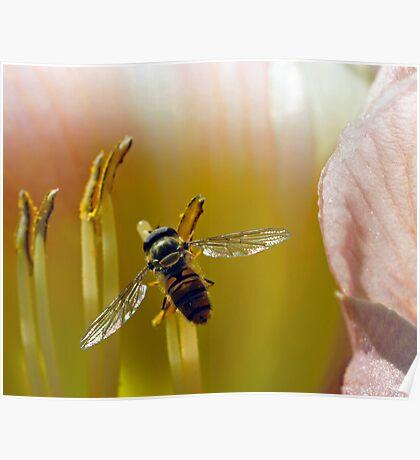 Hoverfly inside Daylily Poster