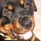 Portrait Of A Gentle Faced Female Rottweiler  by taiche