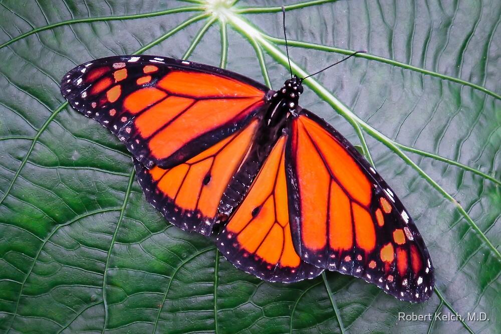 Monarch in Costa Rica by Robert Kelch, M.D.