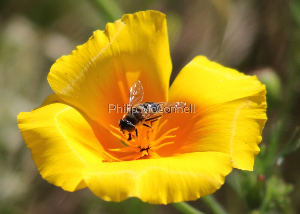 Insect on Flower by Philip McConnell