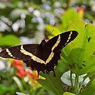 The Swallowtail by gharris