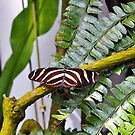 Zebra Longwing Butterfly by gharris