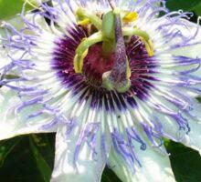 Beautiful Passion Flower With Garden Background Sticker
