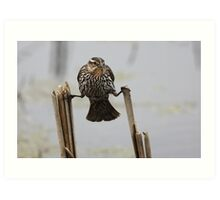 Wings...don't fail me now! - Red-Winged Blackbird Art Print