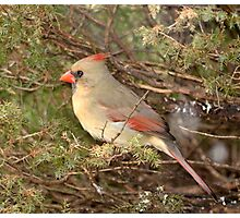 Female cardinal Photographic Print