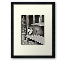 Possum Framed Print