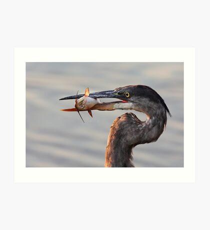 A fresh catch - Great Blue Heron Art Print