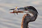 A fresh catch - Great Blue Heron by Jim Cumming