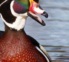 Wood Duck laugh Sticker
