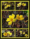 Yellow Oxalis - Oxalis spiralis vulcanicola by MotherNature