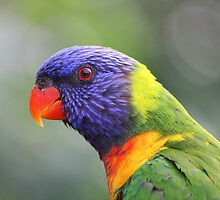 Rainbow Lorikeet by Chris Kean