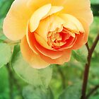 Orange rose by cycreation