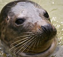Seal by Norma Cornes