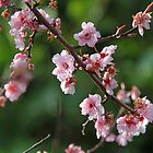 Cherry blossom by Roxy J
