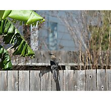 Grackel on a Fence Photographic Print