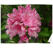 Azalea beauty Poster
