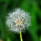 Dandy Puff by michaelasamples