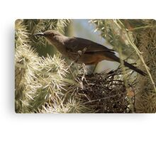 Curved-bill Thrasher ~ Nesting 2013 Canvas Print