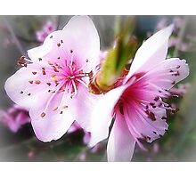 Gentle Pink Blossom of the Nectarine Tree Photographic Print