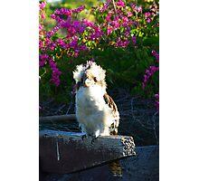 Kookaburra Junior Photographic Print
