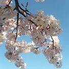 Spring Blossoms in Shadow and Light by Jane Neill-Hancock