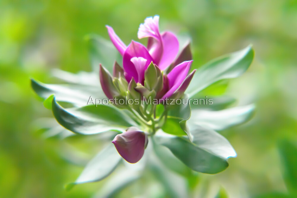 Blooming Flower by Apostolos Mantzouranis