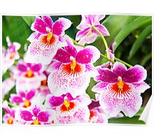 Cattleya White And Pink Orchids Poster