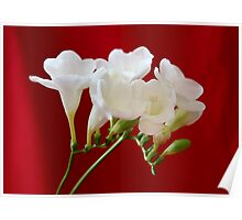 White Freesia Poster