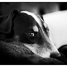 Jack Russell Terrier Portrait in Black and White by Natalie Kinnear