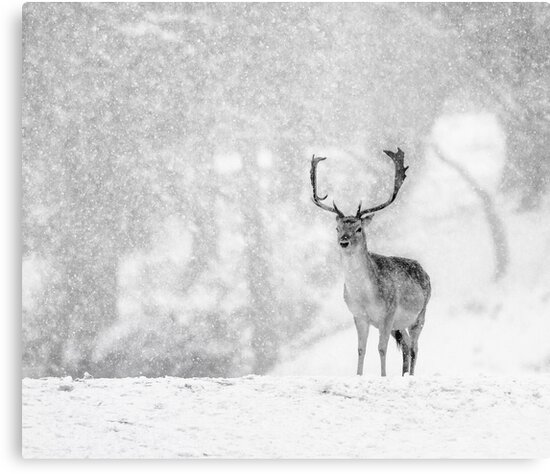 A Stag In The Snow by Patricia Jacobs CPAGB LRPS BPE3