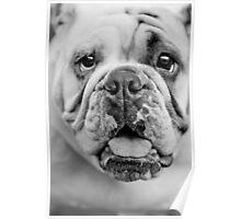 English Bull Dog Poster