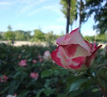 Wild roses by soulpacifica