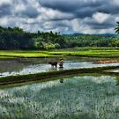 Rice Farming by Steve Baird