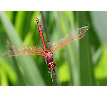 Closeup of Red Skimmer or Firecracker Dragonfly Photographic Print