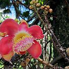 Cannonball Tree by Akrotiri