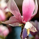 Magnolia 2 by Lynn Starner
