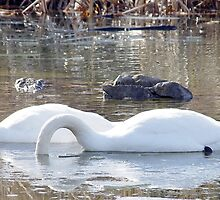 Winter Swans 4 by srosu