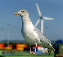 Adult Herring Gull In Non-Breeding Plumage by VoluntaryRanger