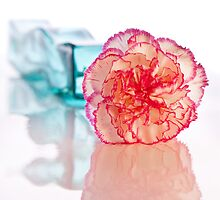 Carnation by Richard McAleese