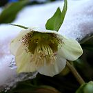 Snowy flower by kostolany244