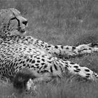 Cheetah - at rest by hpelly31