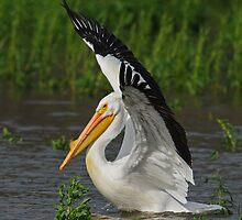 Pelican by photosbyjoe
