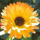 English Marigold by Dawne Dunton