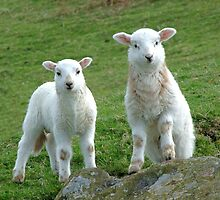 Two Welsh Lambs by philipclarke