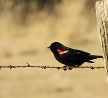 Red Wing Blackbird by © Betty E Duncan ~ Blue Mountain Blessings Photography