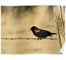 Red Wing Blackbird Poster