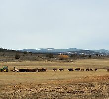 Cattle Country - Meals on Wheels by © Betty E Duncan ~ Blue Mountain Blessings Photography