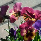 pansies  by Melissa, Sue Ball